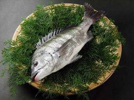 瀬戸内産 活〆天然黒鯛(チヌ) 1.1kg〜1.4kg