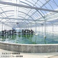 スピルリナスティック(スピルリナ粉末)1.25g×31本入【スピルリナブルー】(4)