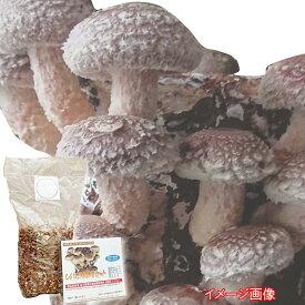 (400)旬の味覚をたっぷり収穫 しいたけ栽培セット(キット)父の日にもオススメ!!採り立て焼き椎茸で一杯