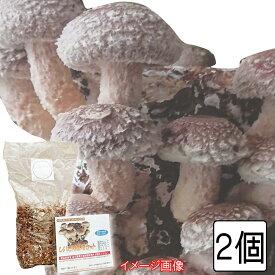 (400)旬の味覚を収穫 しいたけ栽培セット(キット)×2個父の日にもオススメ!!採り立て焼き椎茸で一杯