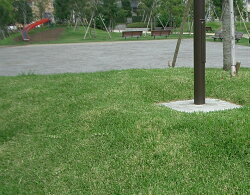 【送料無料】【芝生】セントオーガスチングラス約10平米分(3トレイ:48苗入り)【代引不可】【クーポン配布店舗】
