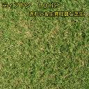 【送料無料】【芝生】ティフトン419 約10平米分(2トレイ:50苗入り)【代引不可】【クーポン配布店舗】