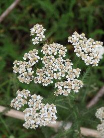 コモンヤロウ・ホワイト(ヤローホワイト・セイヨウノコギリソウ・オールドマンズペパー) ハーブ苗 9vp Common Yarrow White