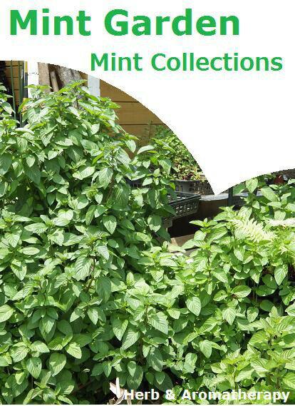 ミントコレクション:12種のミントセット(ハッカ) ハーブ苗おまかせ12種セット  9vp×12ポット Mint Collections