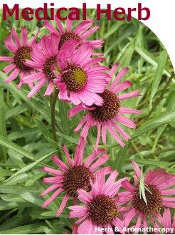 「 약용 허브 모 종 12 종 세트 」 허브 모 종 임의 12 종 세트 9vp× 12 냄비 Medical Herb