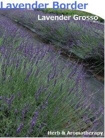 香りのボーダー♪ グロッソラヴェンダー 12ポット ラベンダーグロッソ ラヴァンジングロッソ 9vp×12ポット ハーブ苗セット Grosso Lavender ハーブ苗専門店