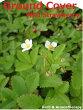 ワイルドストロベリー(エゾヘビイチゴ)ハーブ苗9vpWildStrawberry