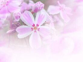 芝桜苗 多摩の流れ キャンディストライプ ピンク×白色 10個セット しばざくら シバザクラ モスフロックス ガーデニング 秩父羊山公園の芝桜 芝桜の丘