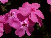 芝桜苗マックダニエルクッション濃ピンク色24個セット・1平米分しばざくらシバザクラモスフロックスガーデニング羊山公園