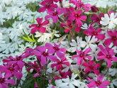 選んで芝桜苗3色セット72ポット・超お値打ち3平米分