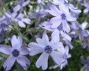 芝桜苗 オーキントンブルー(スカイブルー色) 10個セット(しばざくら・シバザクラ・モスフロックス)