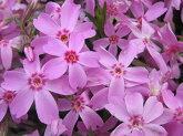 芝桜苗オータムローズピンク色24個セット・1平米分しばざくらシバザクラモスフロックスガーデニング羊山公園
