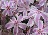 芝桜苗多摩の流れキャンディストライプピンク×白色24個セット・1平米分しばざくらシバザクラモスフロックスガーデニング羊山公園