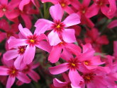 芝桜苗スカーレットフレーム赤色24個セット1平米分しばざくらシバザクラモスフロックスガーデニング羊山公園