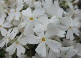 芝桜苗リットルドット白色24個セット・1平米分しばざくらシバザクラモスフロックスガーデニング羊山公園