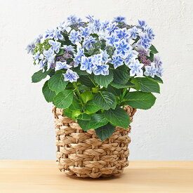 【日比谷花壇】父の日 2021 花 アジサイ「コンペイトウ(ブルー)」