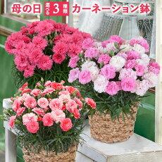 3種類から選べるカーネーション鉢