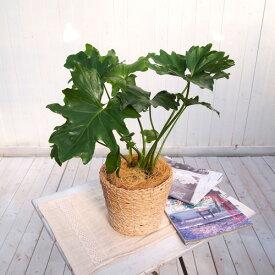 【日比谷花壇】観葉植物「セローム・バスケット」 おしゃれ インテリア