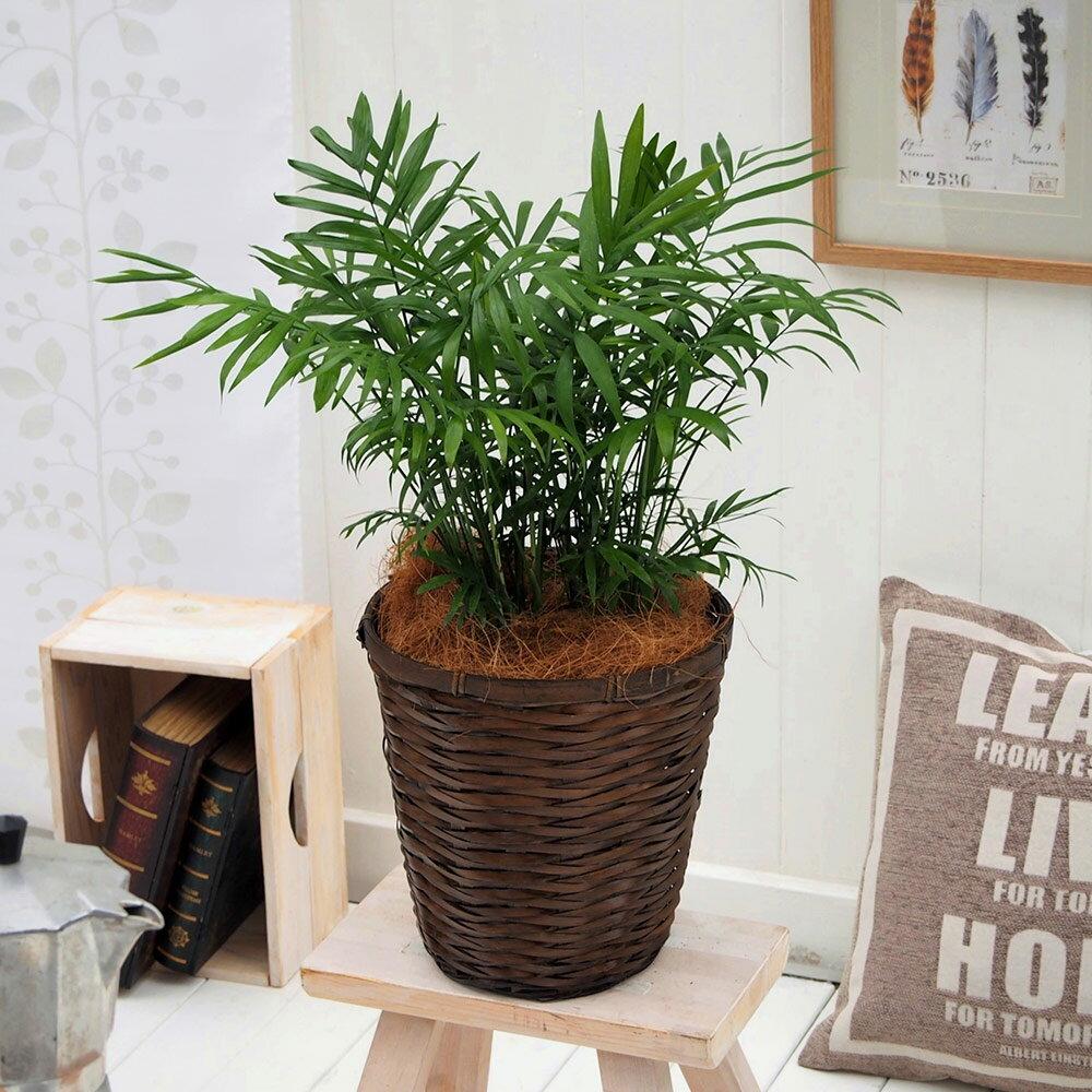 【日比谷花壇】観葉植物「テーブルヤシ・バスケット」