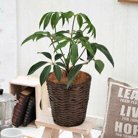【日比谷花壇】 観葉植物「ツピタンサス・バスケット」 おしゃれ インテリア