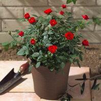 【日比谷花壇】ミニバラコンテナ(赤)寄せ植え