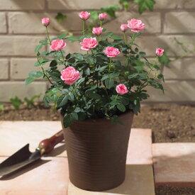 【日比谷花壇】 ミニバラコンテナ(ピンク)寄せ植え ギフト プレゼント 誕生日 記念日