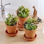 多肉植物「寄せ植え3個セット」