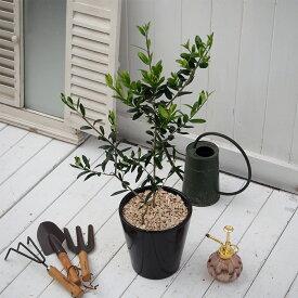 【日比谷花壇】 観賞樹「オリーブ2本植えモダンポット」