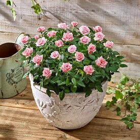 【日比谷花壇】 花鉢ミニバラ 「スウィートボウル (ピンク) 」 大西隆コレクション ギフト プレゼント 誕生日 記念日
