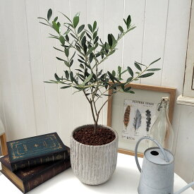 【日比谷花壇】観葉植物 「オリーブ」 インテリアグリーン おしゃれ インテリア