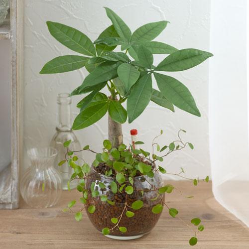 【日比谷花壇】【ネット限定】お手入れかんたん観葉植物「パキラ&ミューレンベキア」