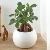 【ネット限定】お手入れかんたん観葉植物「人参ガジュマル(ホワイト)」