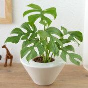 【ネット限定】お手入れかんたん観葉植物「ヒメモンステラ(ホワイト)」