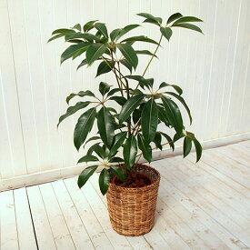 【日比谷花壇】観葉植物「ツピタンサス(L)・バスケット」 おしゃれ インテリア