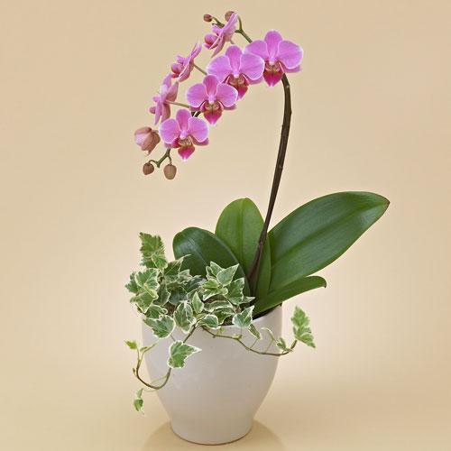【日比谷花壇】【ネット限定】ミディ胡蝶蘭(ピンク)1本立ち お祝い 開店祝い 鉢花
