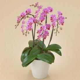 【日比谷花壇】 【ネット限定】 ミディ胡蝶蘭(ピンク)5本立ち お祝い 開店祝い 鉢花