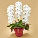 【日比谷花壇】「胡蝶蘭(ホワイト)3本立ち」