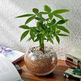 【日比谷花壇】 環境にやさしいエコスギ観葉植物「編み込みパキラ」 おしゃれ インテリア