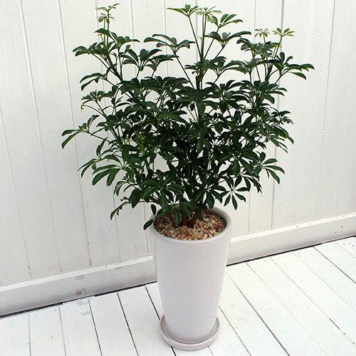 【日比谷花壇】観葉植物「カポックコンパクタ・ホワイトポット」