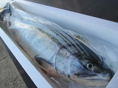 サケ 秋鮭 生鮭 【秋鮭メス 1本-3,5kg前後 生筋子入り 】「送料無料」北海道産