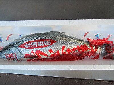 サケ 秋鮭 【生鮭オス 1本-3kg前後】 北海道産 さけ 「送料無料」