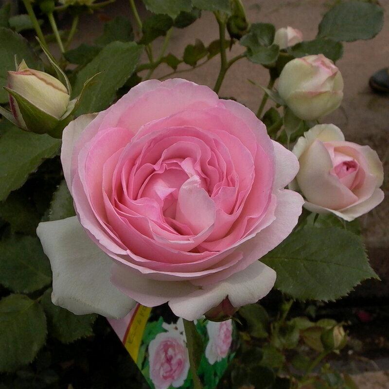 バラ苗 クライミングローズ CL「ピエール・ドゥ・ロンサール」鉢植え