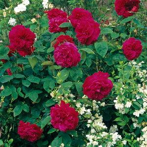 バラ苗 イングリッシュローズ「L・D・ブレスウェイト」鉢植え Desdemona(Auskindling)