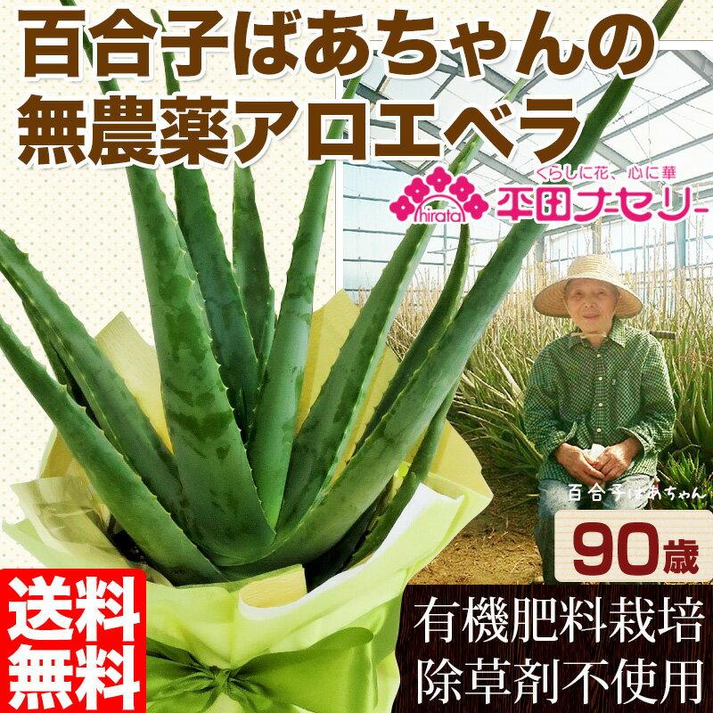 食用・食べられるアロエベラ 国産無農薬栽培アロエ