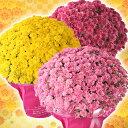 【敬老の日ギフト2017】【全国送料無料】ガーデンマム「満月」「もも」「ことぶき」敬老の日・秋の花ギフト 平田ナーセリーの自信作! つぼみで届いて次々に咲く!