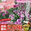 ピンクキッスカーネーション いっぱい 多肉植物 プレゼント