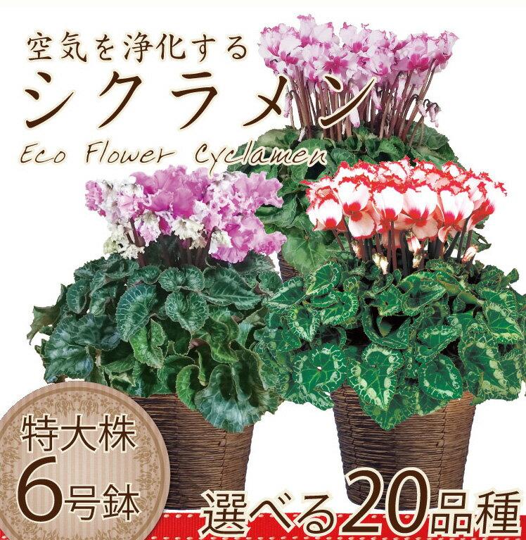 【シクラメン】生産農家直送の空気を浄化するシクラメン 6号鉢 選べる20品種 バスケット付き