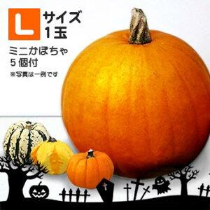 【送料無料・数量限定】ハロウィンかぼちゃLサイズ+ミニかぼちゃ5個付 本物生カボチャ 北海道 お土産 おみやげ2021 ハロウィン