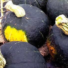 【9月下旬発送】無農薬栽培北海道産栗将軍かぼちゃ10kg粉質で甘みがよく感じられ食味が良い【送料無料】