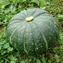 無農薬特農こふきかぼちゃ5kg